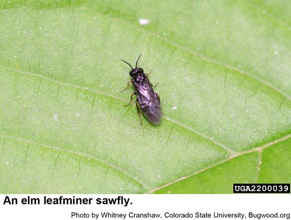 Photo of elm leafminer sawfly
