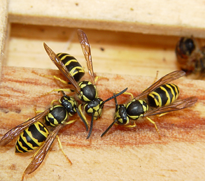 Thumbnail image for Non-Honey Bee Stinging Insects in North Carolina