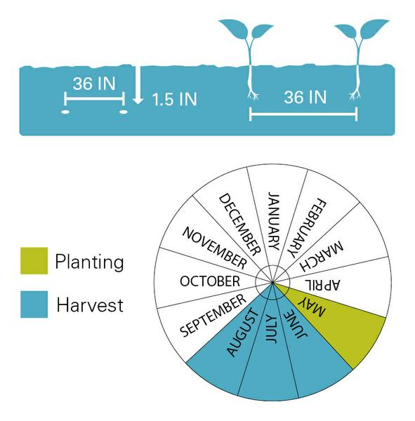 Yellow squash planting and harvest dates.