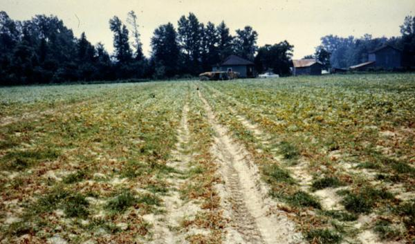 Photo of an Anthracnose infected field