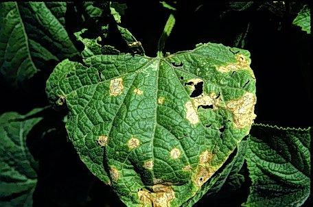 Photo of cucumber leaf with lesions.