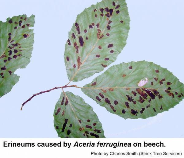 These unusual galls are caused by the beech erineum mite, Aceria
