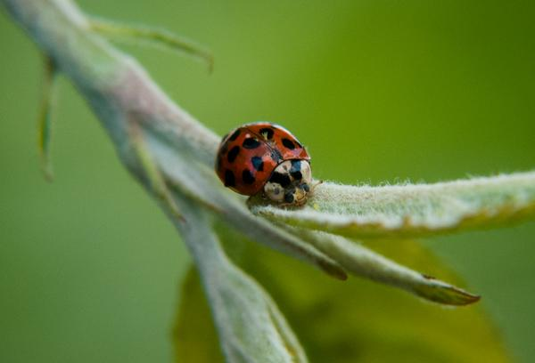 Multicolored asian lady beetle (Harmonia axyridis).