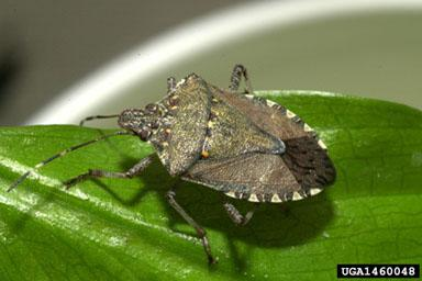 Figure 1. Brown marmorated stink bug.