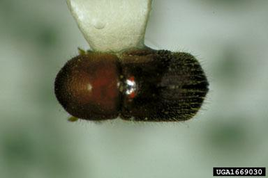 Figure 1. Adult granulate ambrosia beetle.