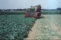 Figure 10. Once-over mechanical harvesting in Delaware.