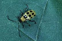 Plate 13. Spotted cucumber beetle.