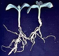 Plate 30. Root-knot nematode galls on cucumber seedlings.