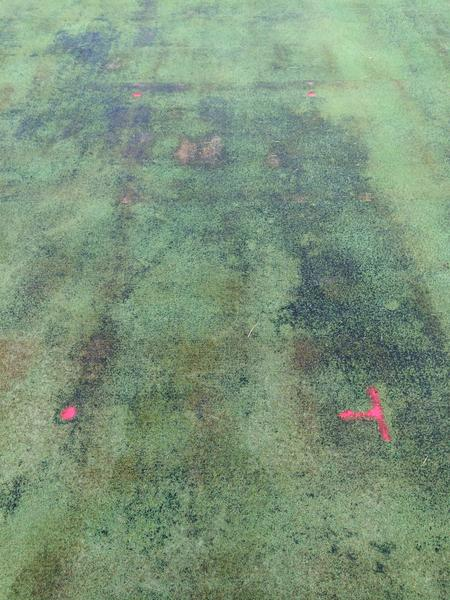 Algae in a creeping bentgrass putting green