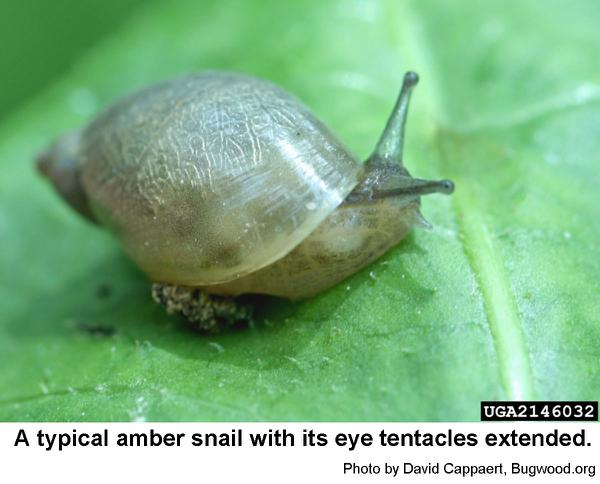 Amber snails are small.
