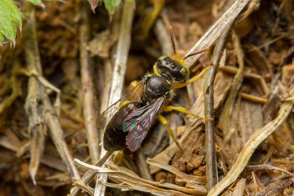 Thumbnail image for Ground-Nesting Bees in Turf