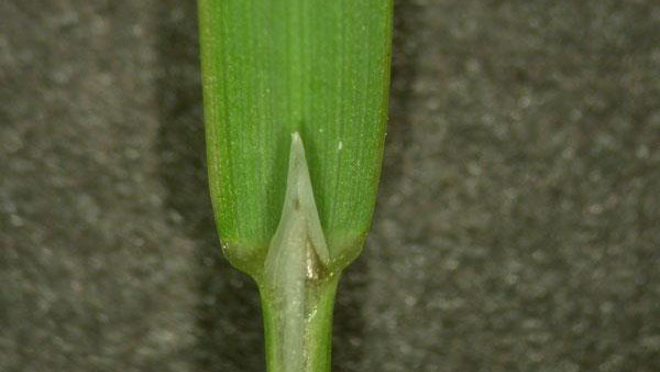 Annual bluegrass ligule