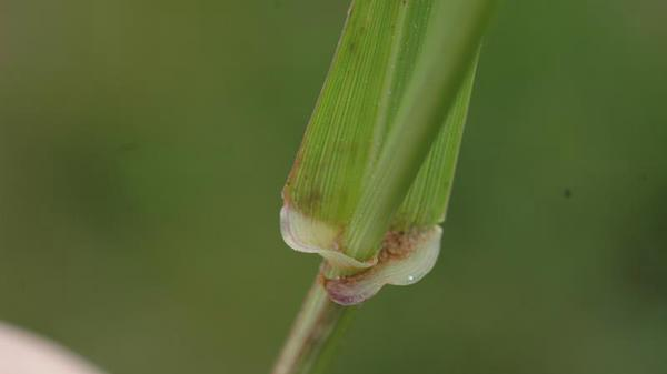 Annual ryegrass auricle