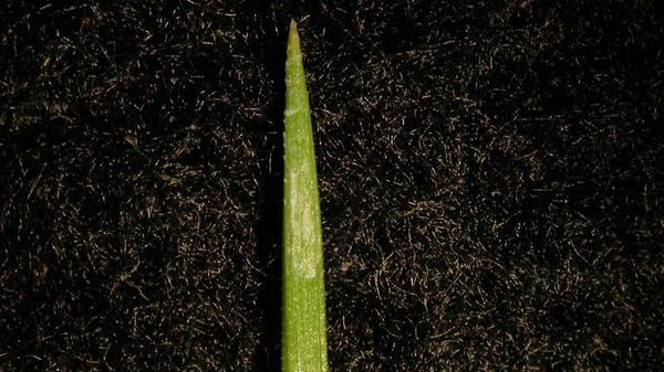 Annual ryegrass leaf blade