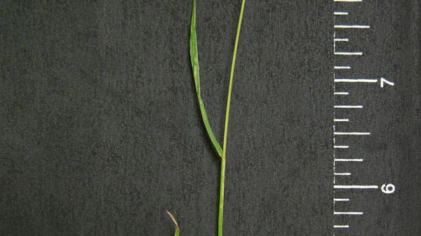 Annual ryegrass leaf blade