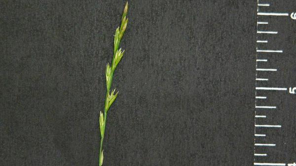 Annual ryegrass seedhead