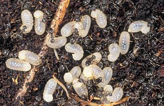Figure 2. Ant brood.