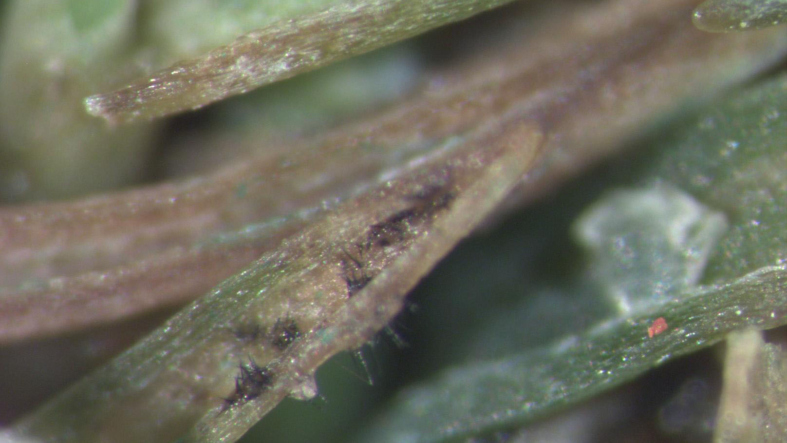 Anthracnose foliar symptoms
