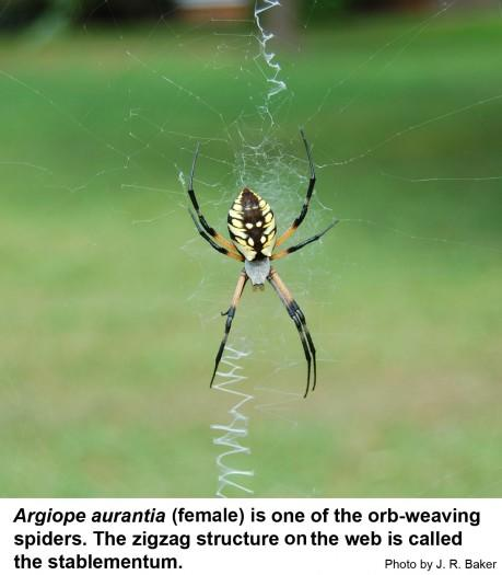 The black and yellow garden spider.