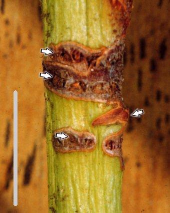 Figure 5. Damage caused to a rhododendron stem.