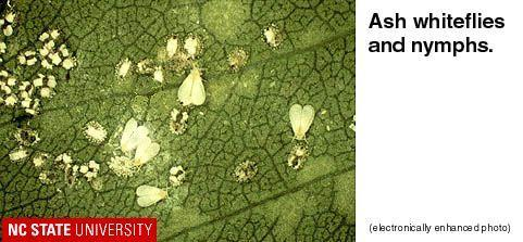 Figure 2. Ash whiteflies and nymphs.