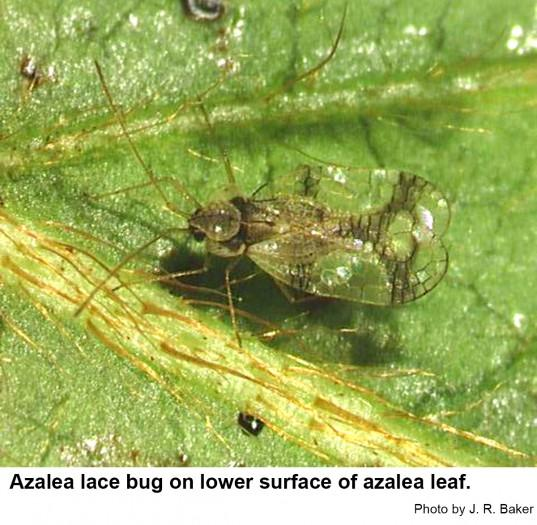 Azalea lace bugs have lacey, transparent wings.