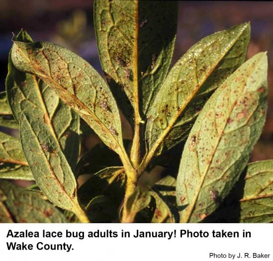Azalea lace bugs in January.