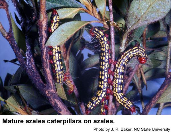 Azalea caterpillars are sometimes called Labor Day worms