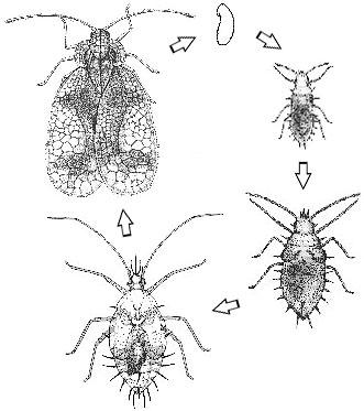 Figure 1. Life cycle of the azalea lace bug.