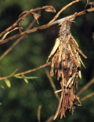 Figure 1. Full-grown bagworm in its protective camouflage.