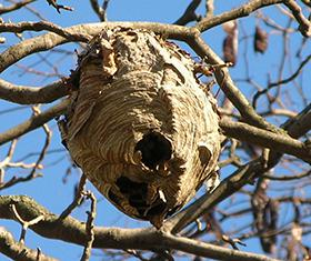 Figure 1. Bald-faced hornet nest.