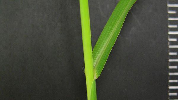 Barnyardgrass auricle