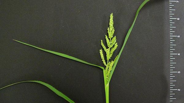 Barnyardgrass seedhead