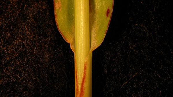 Barnyardgrass sheath