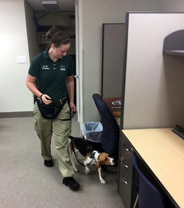 Bed bug detecting dog inspecting an office