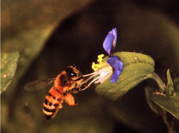 Thumbnail image for The Honey Bee Dance Language