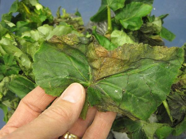 Bacterial Leaf Spot On Greenhouse Ornamentals Nc State Extension