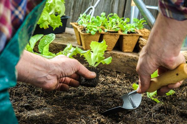 Unusual Vegetable Gardening A Beginners Guide  Nc State Extension  With Extraordinary Transplants With Nice Garden Fence Colour Ideas Also  Foot Garden Gate In Addition In The Night Garden Talking Iggle Piggle And Torture Garden Tickets As Well As Garden Large Pots Additionally Northern Gardens Aged Care From Contentcesncsuedu With   Extraordinary Vegetable Gardening A Beginners Guide  Nc State Extension  With Nice Transplants And Unusual Garden Fence Colour Ideas Also  Foot Garden Gate In Addition In The Night Garden Talking Iggle Piggle From Contentcesncsuedu