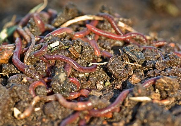 Photo of worms in garden soil