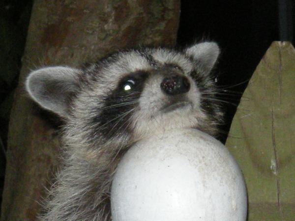 photo of a young raccoon on a suburban fence post
