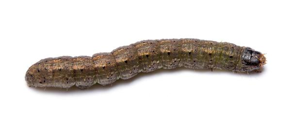 Figure 1. Cutworm larvae.