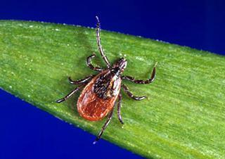 Adult blacklegged tick