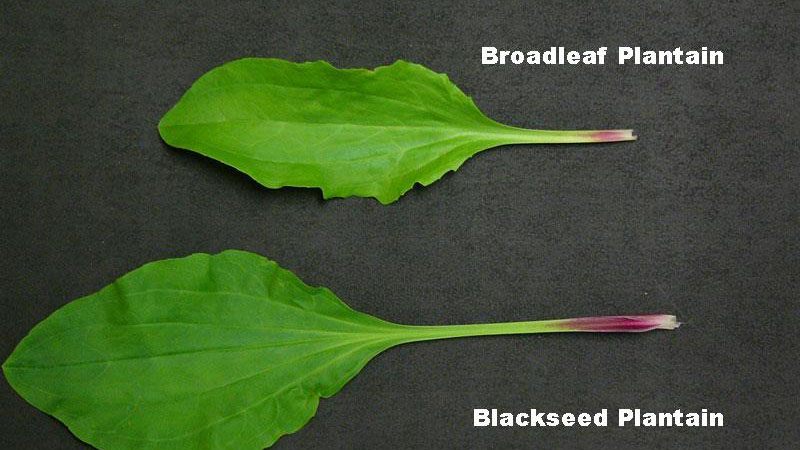 Blackseed plantain leaf shape.