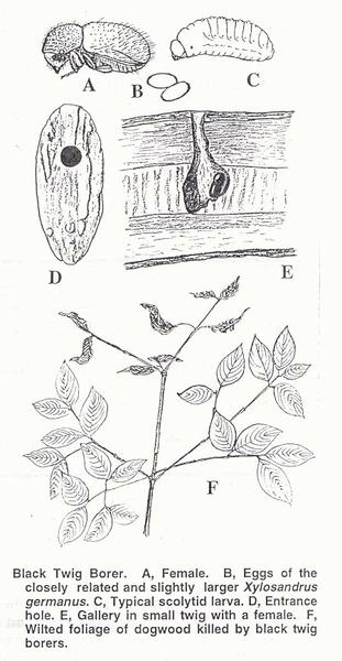 Figure 2. Black twig borer.