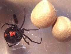 Figure 5. Female black widow spider.