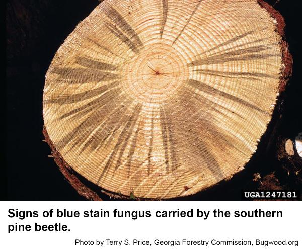 blue stain fungus