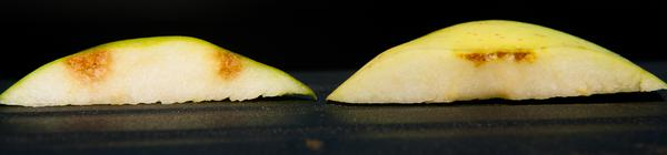 Apple slices with BMSB damage (left) versus corking (right).