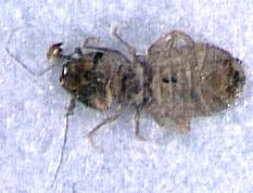 Figure 1. Booklouse.