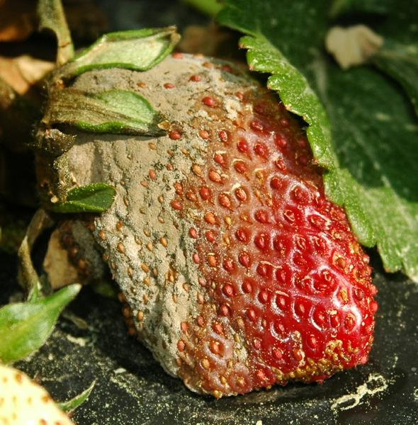 Thumbnail image for Botrytis Fruit Rot / Gray Mold on Strawberry