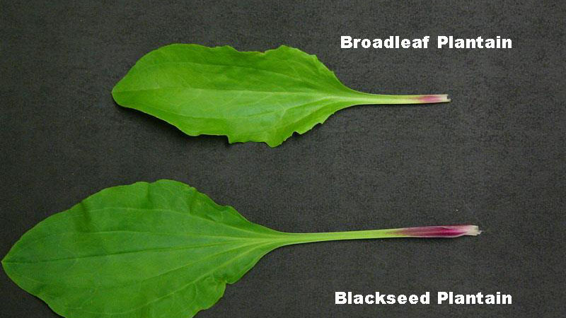 Broadleaf plantain leaf shape.